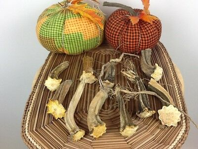 """Pumpkin Stems 10 Large Excellent Quality Naturally Dried 3"""" - 4"""" Stems"""