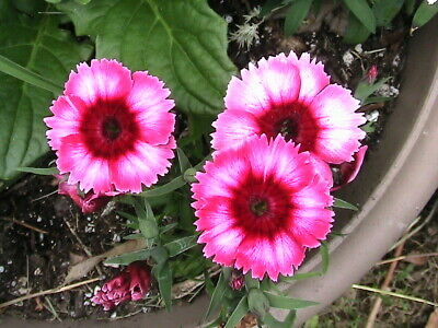 Perennial Flower Seeds You Can Choose What Kind You Want