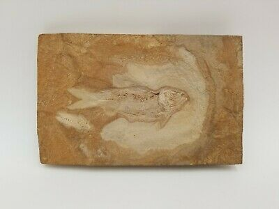Fossil Fish Green River Formation Wyoming 45 Million Years Old
