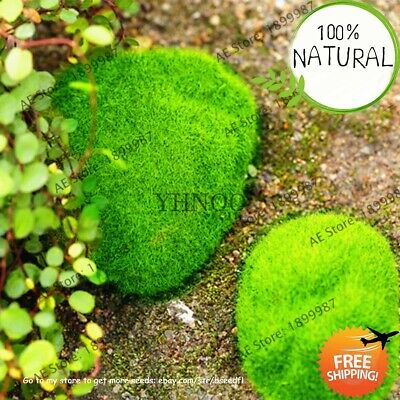 Bonsai Moss Green Seeds Plants Decorative Grass Florespotted
