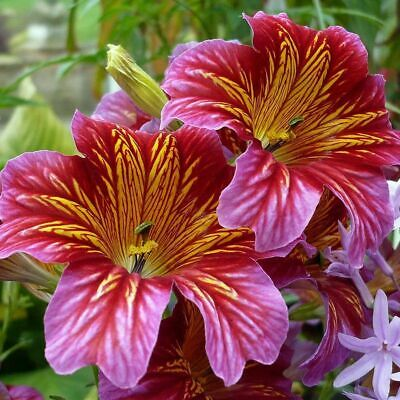 Salpiglossis Sinuata Superbissima Mix 0.5 Gram Approx 2250 Seeds  Painted Tongue