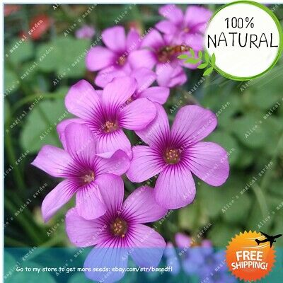 20 Red Oxalis Seeds Wood Sorrel Creeping Oxalis Shamrock Bonsai Seed S074