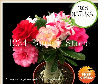 MINI BONSAI DESERT Seeds Plants Rose Exotic Adenium Obesum Flower Air 2pcs