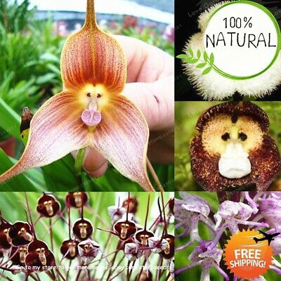 Kinds Cute Monkey Seeds Plants Face Orchid Bonsai Flowers For Home 100pcs