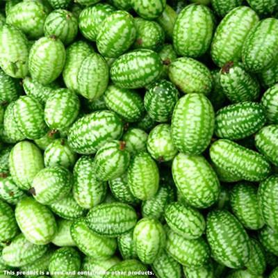 20 CUCAMELON SEEDS Mouse Melon Melothria Scabra Superior Cucumber Fast