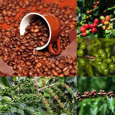 100pcs hawaiian kona coffee bean seeds awesome easy to grow garden plant HDBICA