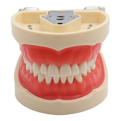 Dental Typodont Model Teaching Model Demonstration With Removable Teeth 200H