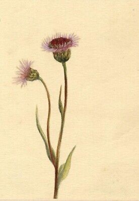 Helen C. Waterhouse, Alpine Fleabane Flower - Original 1882 watercolour painting
