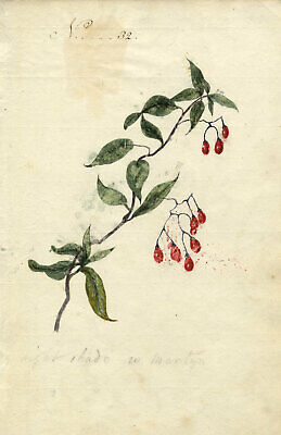 Charlotte Metcalfe, Nightshade Plant with Berries - 1818 watercolour painting