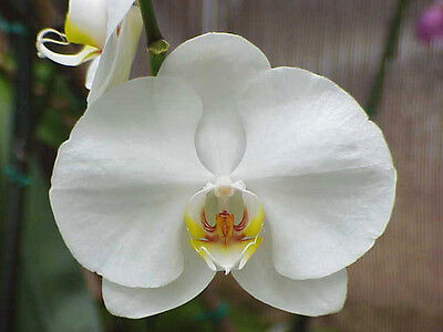 +1000 Semi Seeds Phalenopsis white Orchidea fiore bianco Orchid seed semillas