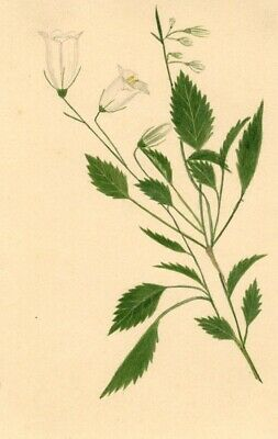 Huckleberry Flowers - Original early 19th-century watercolour painting