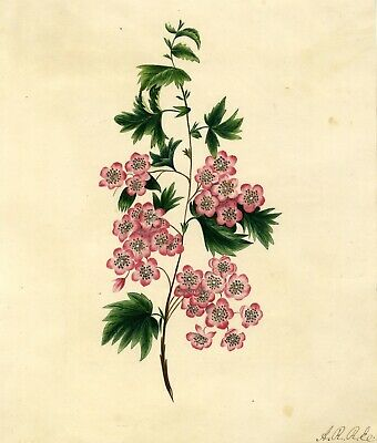 Pink Saxifrage Flowers - Original early 19th-century watercolour painting
