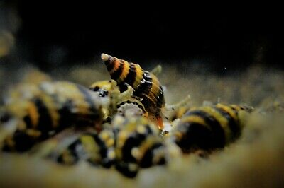 X20 ASSASSIN SNAILS KILLER BUMBLE BEE TROPICAL AQUARIUM LIVE FISH Clea Helena