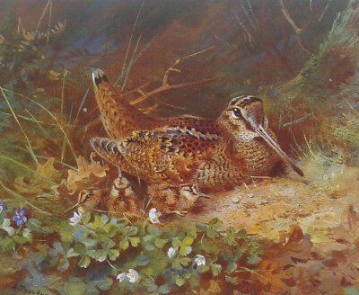 Archibald Thorburn. Limited edition print of a Woodcock and chicks, unframed.