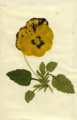 Circle of Mary Delany, King of the Goldmines Pansy Flower - 1840s plant collage