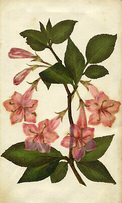 Circle of Mary Delany, Weigela Rosea Flower - Original 1840s plant collage
