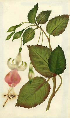 Circle of Mary Delany, Pink Fuschia Flower - Original 1840s plant collage