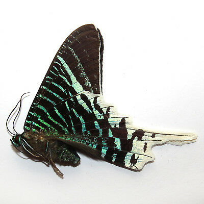 unmounted butterfly / moth  urania leilus A1
