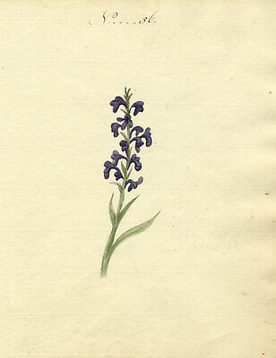 Charlotte Metcalfe, Lesser Butterfly Orchid - Original 1818 watercolour painting