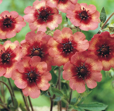 Potentilla nepalensis 'Melton Fire' / Cinquefoil / Hardy Perennial / 30 Seeds