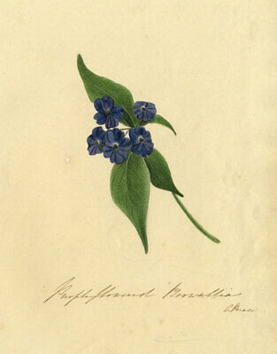 C. Riale , Purple Browallia Flower - Early 19th-century watercolour painting