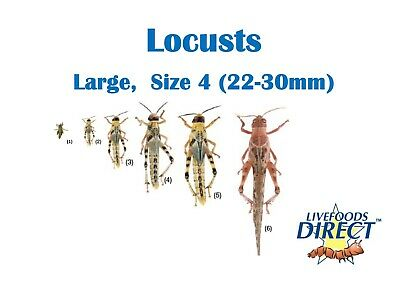 20 Large Locusts 22-30mm MaxiPack Live Insects Livefoods Direct Reptile Food