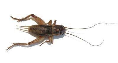 Live Crickets - 100 to 10,000 - Free Shipping All Sizes