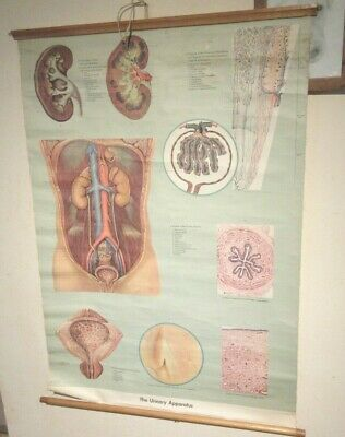 Vintage Medical Poster 1959  Adam, Rouilly  & Co  The Urinary Apparatus
