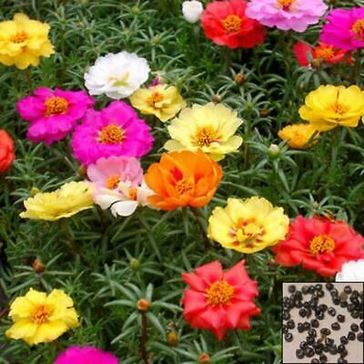 Moss Rose Double Portulaca Grandiflora mix color 100 Seeds Best