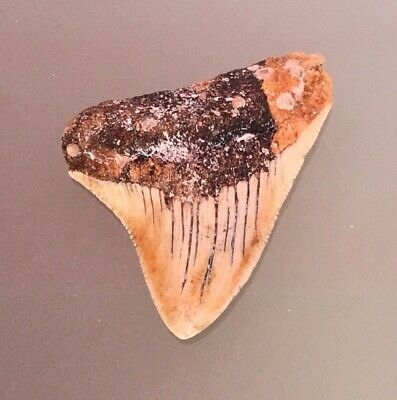 Megalodon . megalodon tooth .