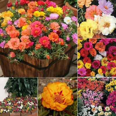 Perennial Moss Rose Seeds Flower Seeds Courtyard Plants Seeds EA9 01