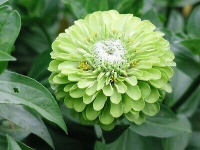 250 GREEN ENVY ZINNIA Elegans Heirloom Chartreuse Double Flower Seeds *Comb Ship