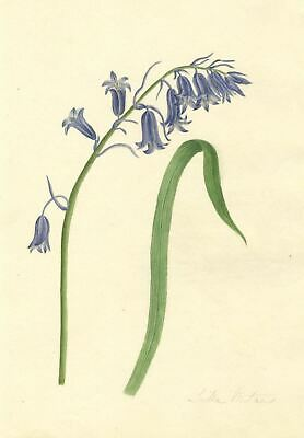 Brada Hulton, Harebell Bluebell Flower - Late 19th-century watercolour painting
