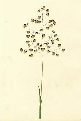 Brada Hulton, Quaking Grass Study - Late 19th-century watercolour painting