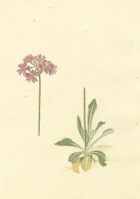 Brada Hulton, Bird's-eye Primrose Flowers - Late 19th-century watercolour