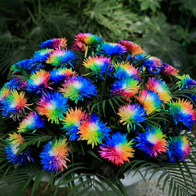 100 Rainbow Chrysanthemum Flower Seeds,Rare Special Unusual Unique Colorful A8T9