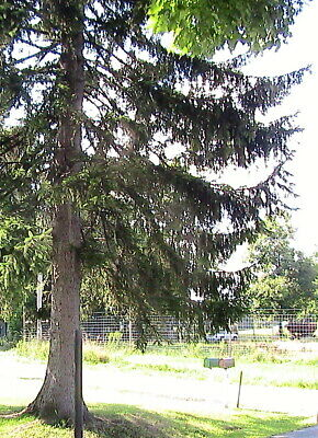 10 Douglas Fir Tree Seeds -Gracefull Landscape Tree