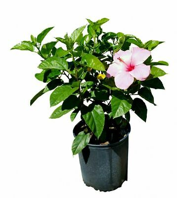 Blackberry Truffle Tropical Hibiscus Plant In 45 Pot 2150