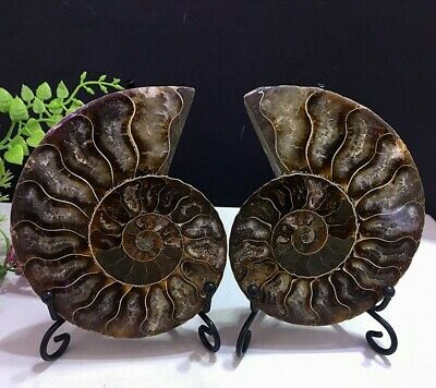 274g Natural A Pair of Ancient Ammonite Fossils Slice Nautilus Jade Shell+Stand