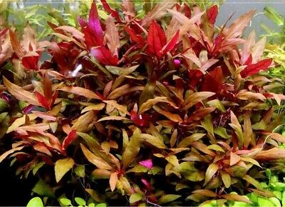 Althernanthera reineki x3 lots plante aquarium rouge Alternanthera reineckii