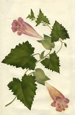 Circle of Mary Delany, Lophospermum Scandens - Original 1840s plant collage