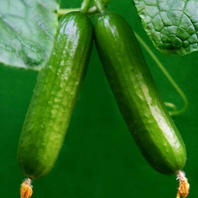 100Pcs Straight Cucumber Seeds Finest Fruit Vegetable Plant Home Garden See W0I4