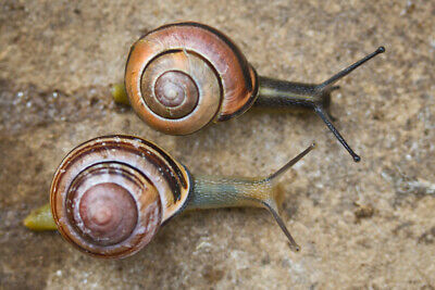 Live Land banded / painted snails Cepaea sp.