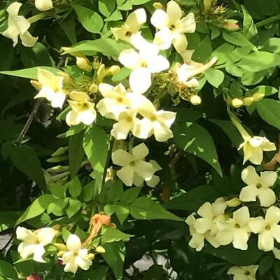 Hardy Fragrant Jasmine   Clotted Cream    Over-Wintered  Plant