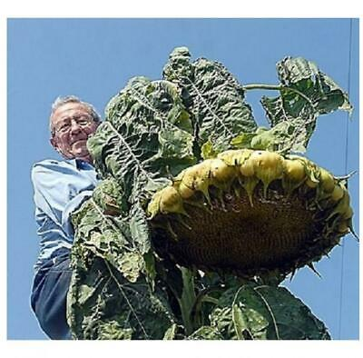 Giant Sunflower Mongolian Giant - 30 Seeds