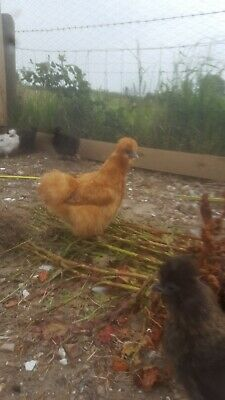 Quality mixed bantam and mini Silkie hatching eggs 6 for 6 pound