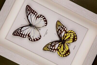 9 FRAMED BUTTERFLIES UK SELLER TAXIDERMY INSECT REAL GENUINE SPECIMENS
