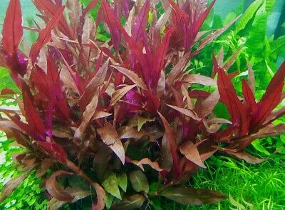 althernanthera reineckii plante rouge aquarium