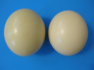 """2 Large 16-17"""" OSTRICH Egg, Shiny Thick Shell, BlownOut, from the USA! Free Ship"""