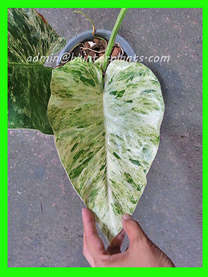 "PHILODENDRON ""Elephant Ear Variegated"" Beautiful Succulent Plant+Free Phyto @@"